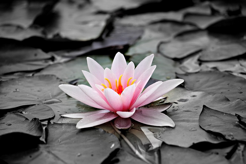 Pink Water Lily Aquatic Plant Pink Water Lily