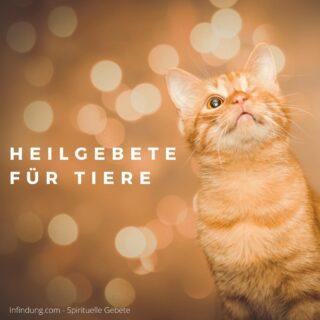 Ich liebe Tiere. Dabei habe ich eine ganz besondere Vorliebe für Katzen. Zurzeit habe ich zwei Schützlinge: eine schwarz-weiße Hauskatze namens Sushi, die in Österreich bei meinen Eltern lebt; und Pave, unsere schottische Faltohrkatze, die mit mir und meinem Mann in Finnland ist.Ich habe ein Gebet zum Schutz, und zum Schicken von Liebe an Tiere geschrieben. Ich hoffe, dass du es für deine pelzigen Schützlinge verwenden kannst z.B. wenn wenn sie krank sind oder vermisst werden, oder einfach nur um ihnen gute Energien zu schicken. Tiere sind sensible Lebewesen und sie können unsere Liebe spüren.*****Ich bin so dankbar, dass [Name des Tieres] in meinem Leben ist,und dass ich für sie/ihn sorgen darf.Lieber Gott, und alle lichtvollen Engel und Helfer,die für [Name des Tieres] zuständig sind:Ich danke euch für eure Liebe und Unterstützung in dieser Situation.Nehmt ihre Schmerzen nun von ihr,sodass ihre Lebenskraft und Freude wieder zurückkommen.Nehmt ihre Ängste nun von ihr,sodass sie einen Moment der Ruhe erleben kann.Nehmt diese Krankheit/diese Beschwerden nun von ihr;sodass sie wieder gesund undin ihren natürlichen Zustand des Heilseins zurückkommt.Macht dieses Tier wieder heil.Vielen Dank für eure lichtvollen Heilungsenergien für [Name des Tieres].Ich bin ruhig in dem Gewissen, dass nur das Beste für sie passiert.Und so ist es. Danke. Amen.– von Tanja Törnroos*****Mehr Gebete zum Schutz und zur Heilung von Tieren findest du auf Infindung.com , z.B. hier: https://infindung.com/2020/09/26/heilgebete-fuer-katzen-alle-tiere/Alles Liebe,Tanja#gebet #gebete #affirmation #affirmationen #spirituell #spiritualität #infindung #segen #bewusstsein #erwachen #motivation #Kraft #gedanken #glaube #hoffnung #glück #achtsamkeit #lichtarbeiter #gott #beten #wunder #heilung #heilsein #dankbar #tiere #tierschutz #tierkommunikation #katze #katzenliebe